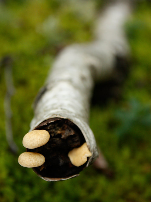 "Boreal Mushrooms 1 (8""x10"" photograph)"
