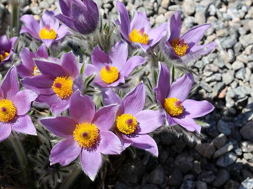 "Purple Petals 3 (8""x10"" photograph)"
