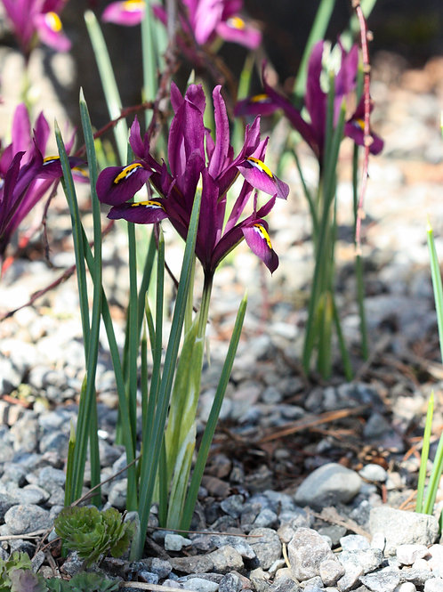 "Purple Petals 2 (8""x10"" photograph)"
