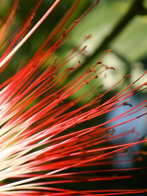 "Brazil in Bloom 3 (8""x10"" photograph)"
