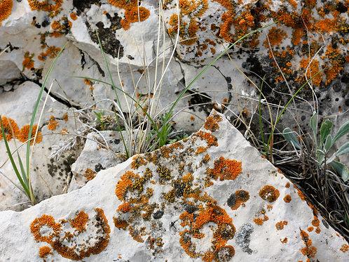 """Lichen 3 (8""""x10"""" photograph)"""