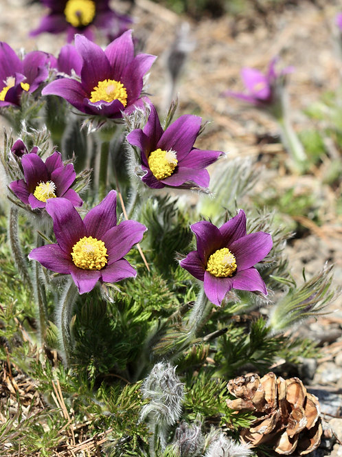 "Purple Petals 5 (8""x10"" photograph)"