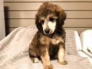 Phoebe pup