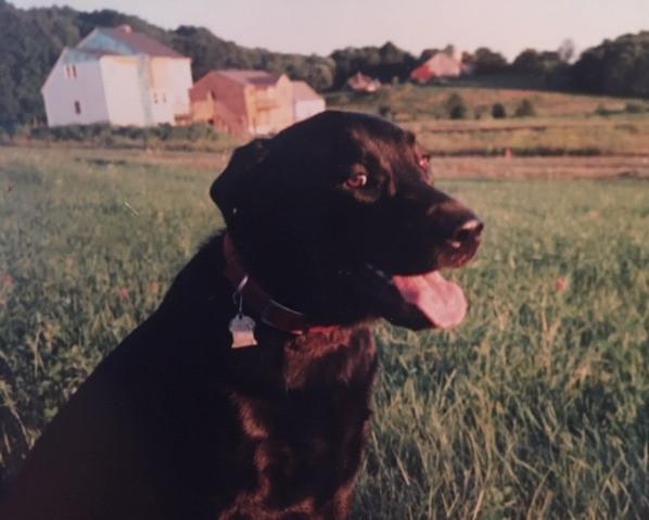 #petloss; black labrador retriever sitting in a field
