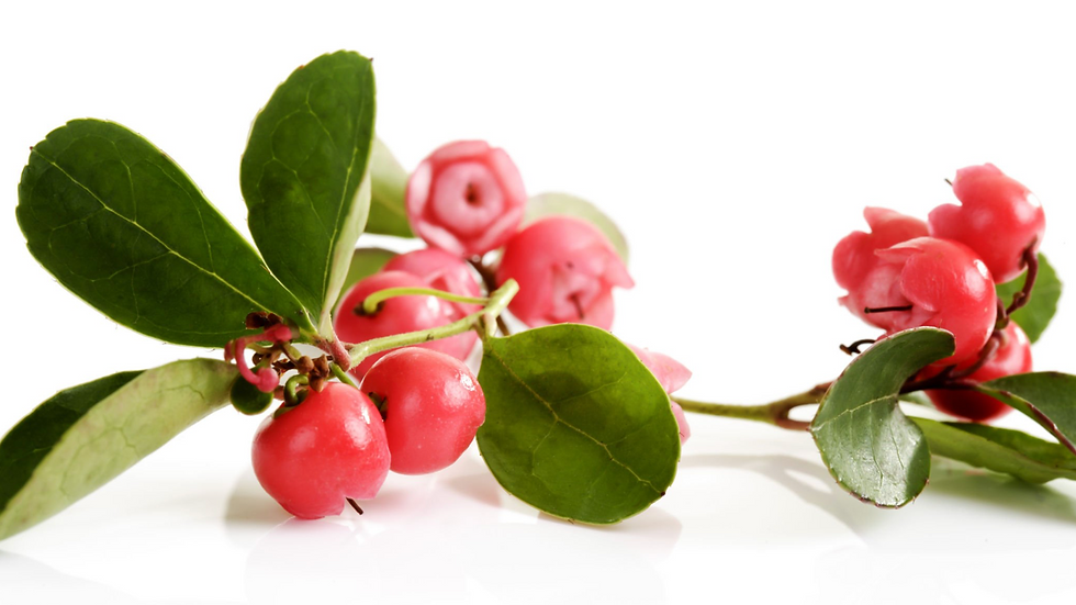 Huile essentielle Thé des bois (Gaultheria procumbens)