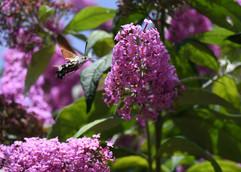 Elaine Brown 6 Hummingbird Hawk Moth.JPG