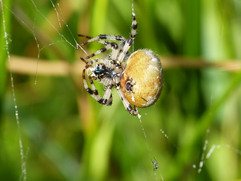 Cross Orb-Weaver MW Fen.JPG