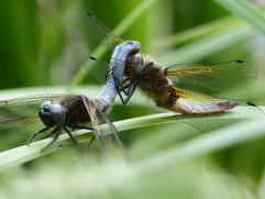 Swallowtails et al 080.JPG