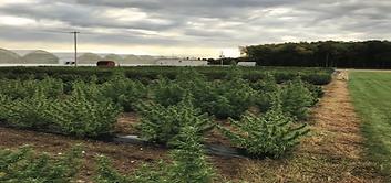Sutton Weed Farm _ Hemp Grow