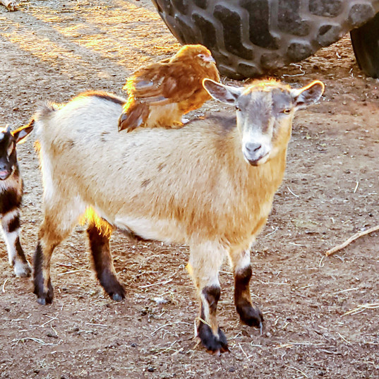 Ellie the goat, Kid, and Hen