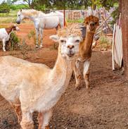 alpacas, goat, & horse