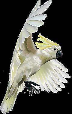cockatoo-1.png