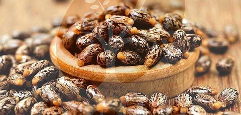 Castor-Seed-2_edited.jpg