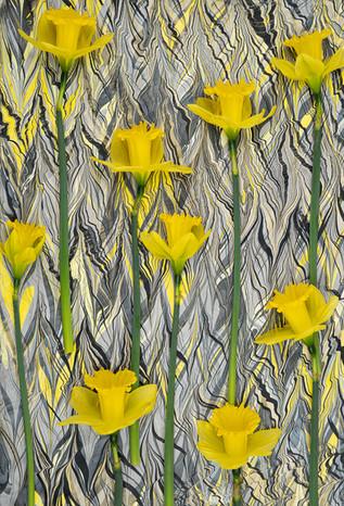 Daffodil Lines