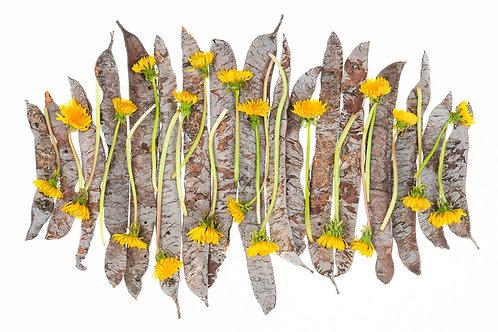 Dandelions & Pods