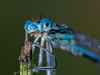 Libelle & Morgentau