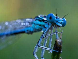 Dragonfly & morning dew