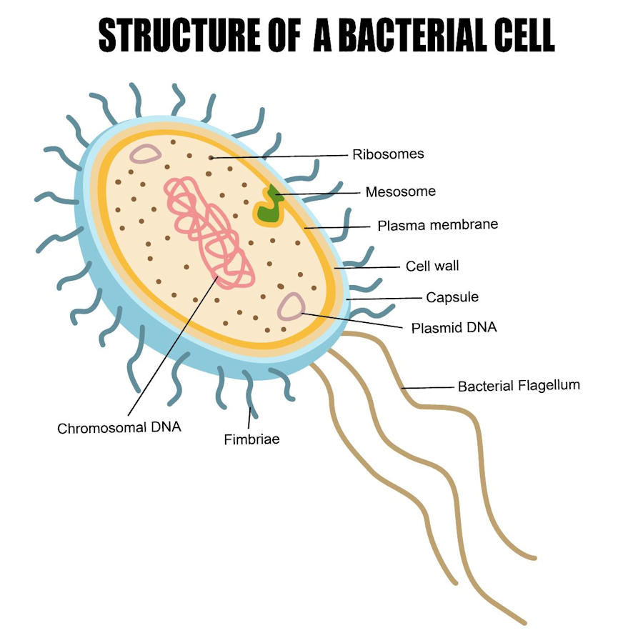 What is a bacterium? 58