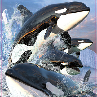Jumping Orcas