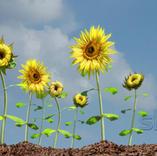 Sky Sun Flower