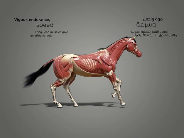 horse muscle_1.4.1.jpg