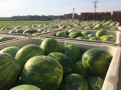 More Melons ready for the Float