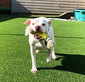 Pearl-AmBulldogmix-10nov-5.jpg