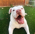 Pearl-AmBulldogmix-10nov-6.jpg