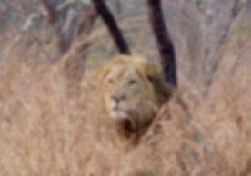 lion in the grass.jpg