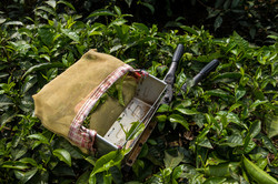 Plucking Tea Leaves - The Cutter and Bag