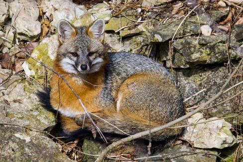 Be Foxy
