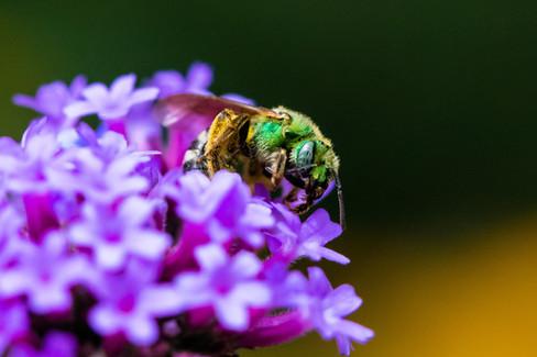 Buzzing Around Flowers