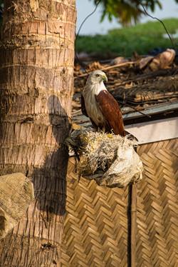 Kerala Eagle