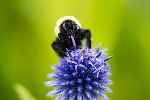 Nature-Bee-IMG_7526.jpg