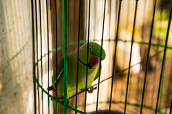 Caged Bird, I Know Why It Sings