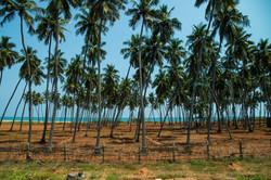 It's Tree, Palm Tree