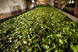 Tea Leaves Drying Phase 1