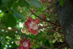 Cannonball Tree Flowers
