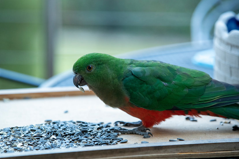 Australian King Parrot, NSW 75 x 50cm