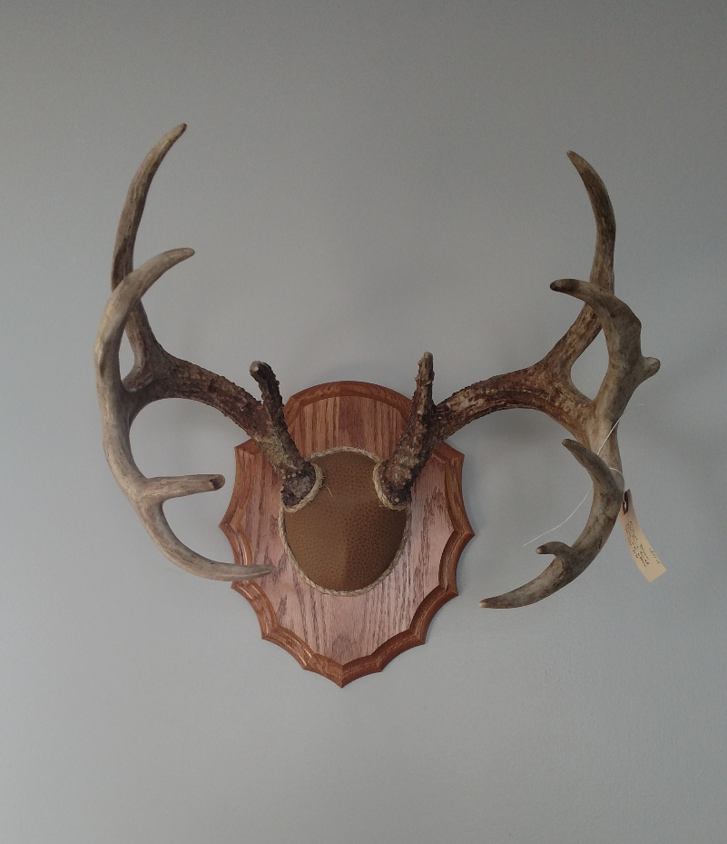 Velvet Antler Mule Deer