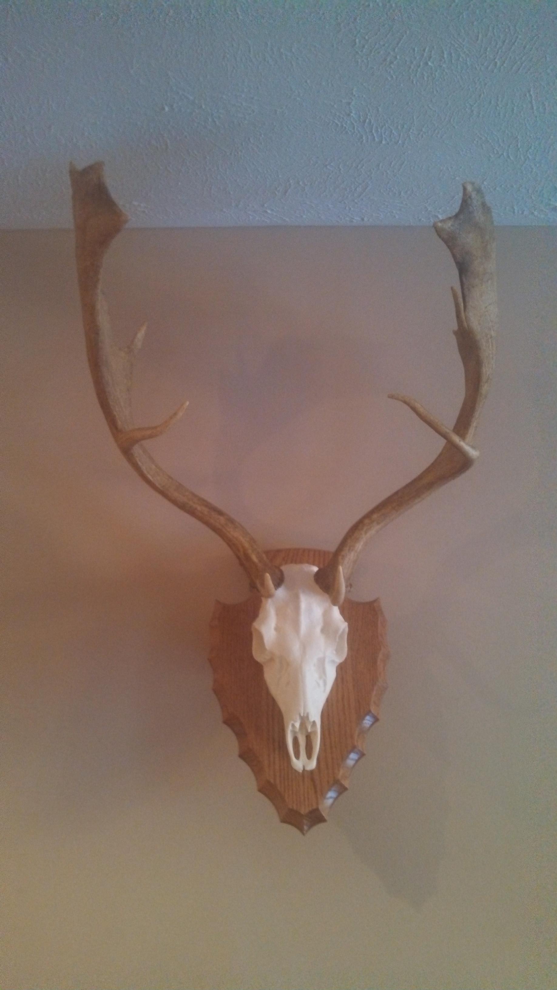 Fallow deer shed antlers