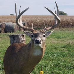 A Great buck with split G2s on a McKenzi