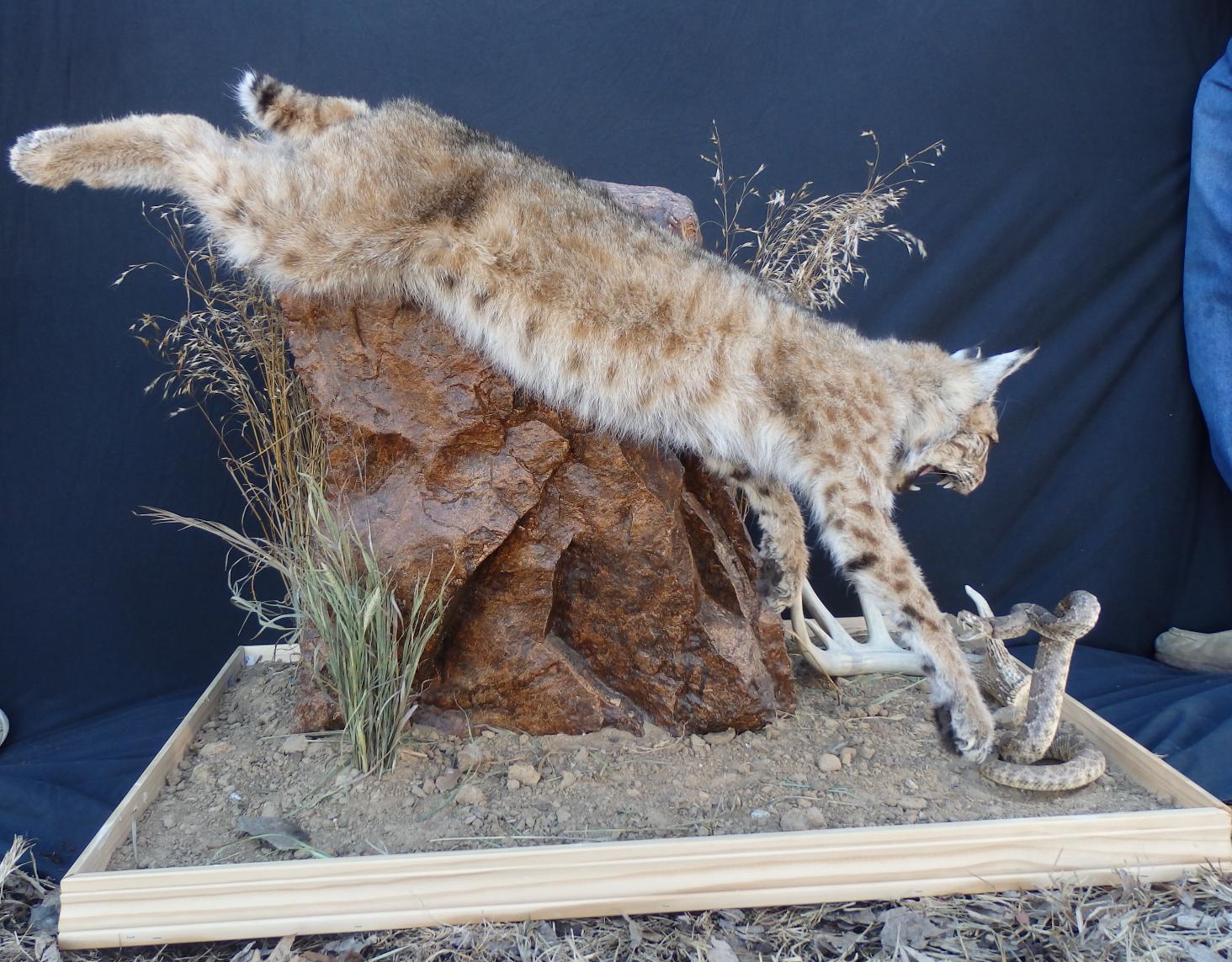 Bobcat/snake