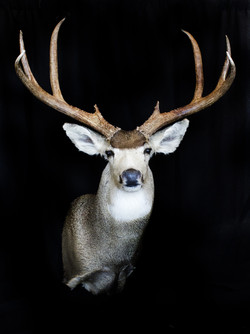 TX Mule Deer