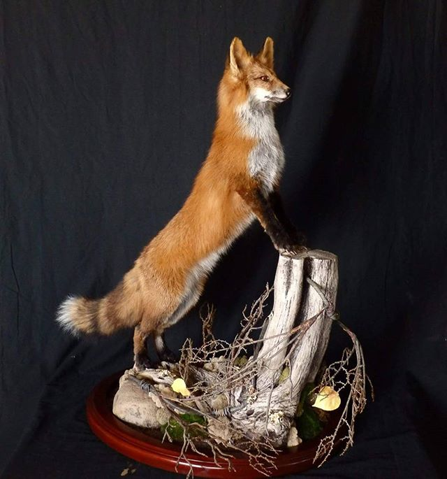 Red fox that recently went home_#western