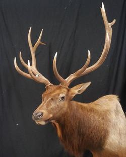 North East Kansas free range bull