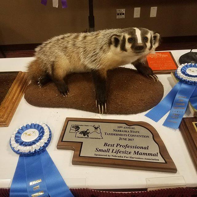 #westernskytaxidermy #badger