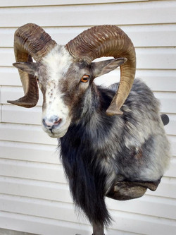 Corsican Ram