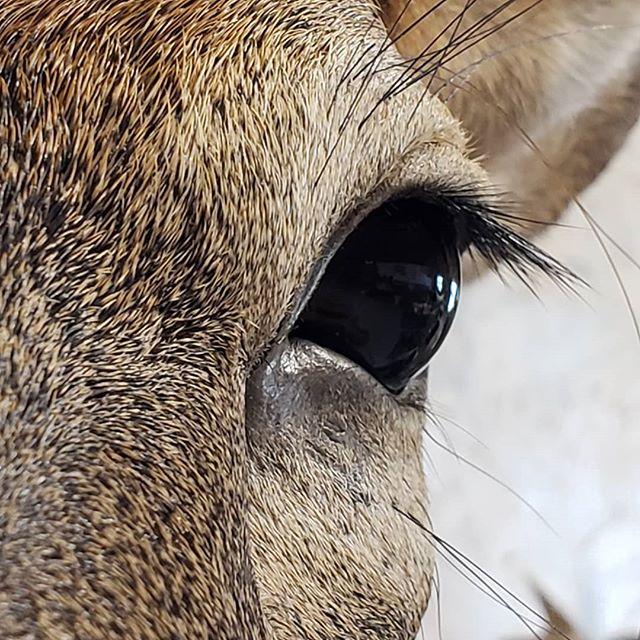 Whitetail eye
