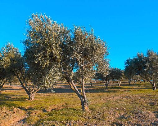 adotta albero ulivo